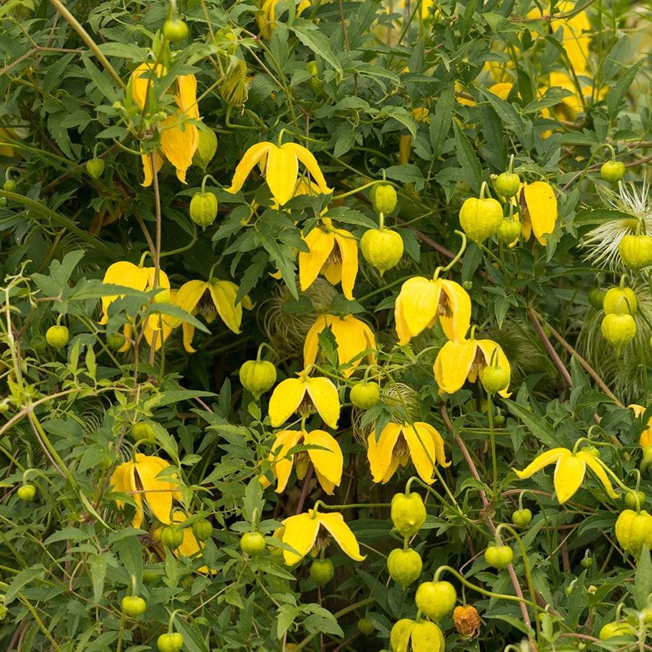golden clematis (group 3)
