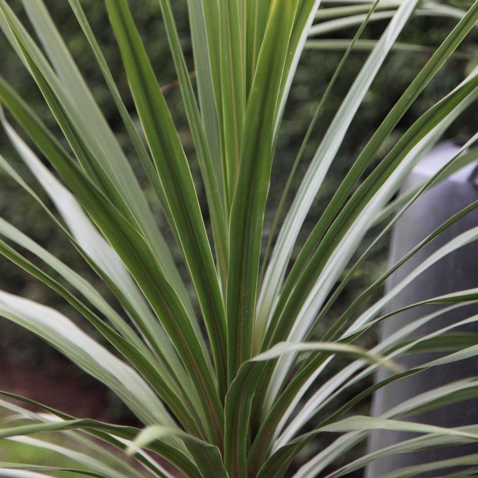 Image of Cordyline australis 2 litre pot - 20cm