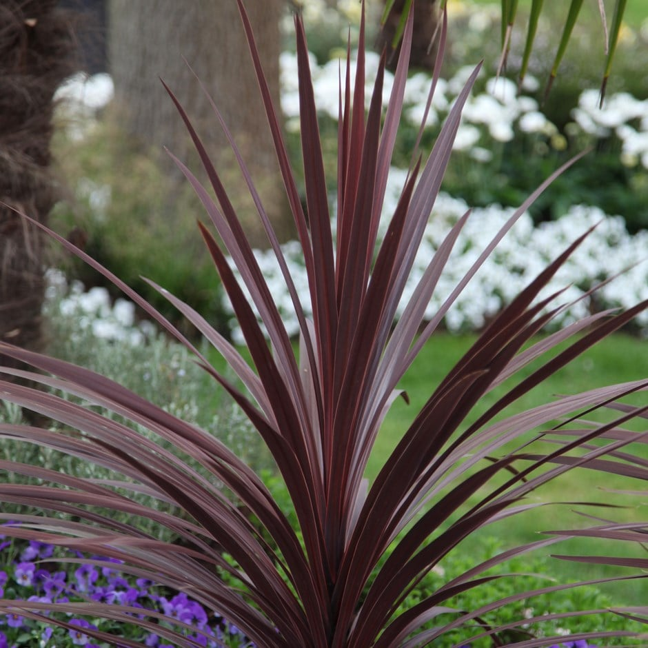 Buy Cabbage Palm Cordyline Red Star Delivery By