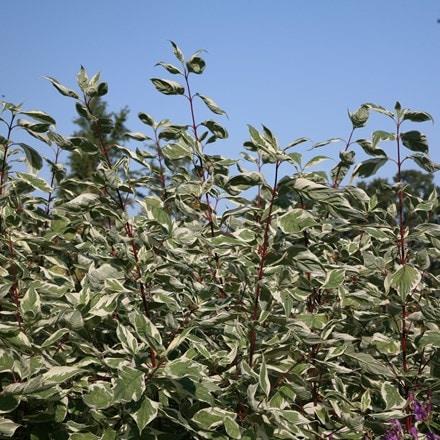 Cornus alba Elegantissima