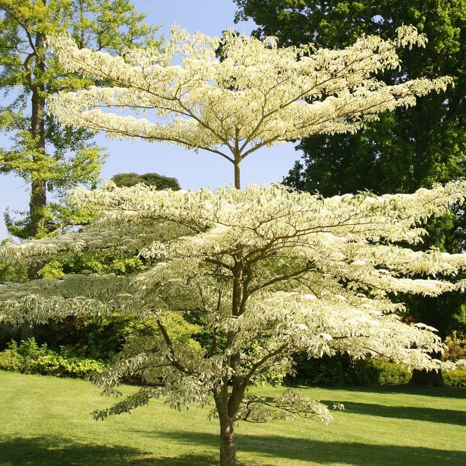 the wedding cake tree buy wedding cake tree cornus controversa variegata 163 44 99 20916