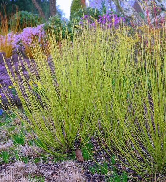 Buy Golden Twig Dogwood Cornus Sericea Flaviramea 163 12 99