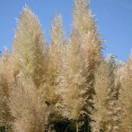 Cortaderia selloana Pumila
