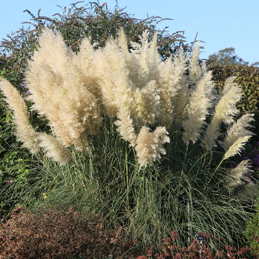 buy pampas grass cortaderia selloana pumila. Black Bedroom Furniture Sets. Home Design Ideas