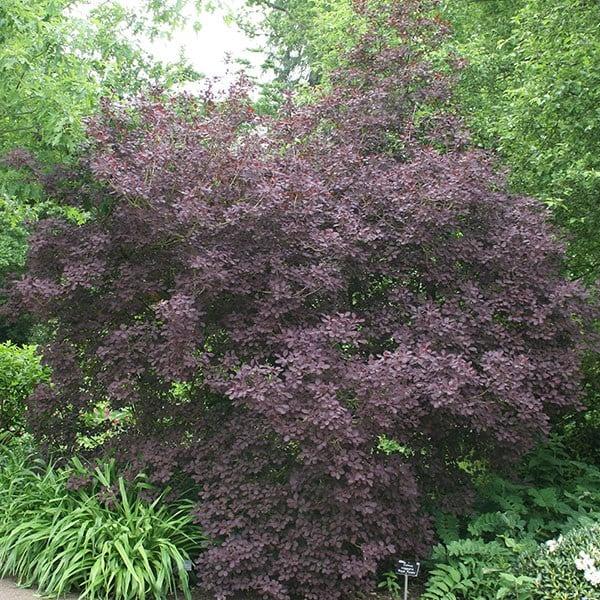 Buy Smoke Bush Cotinus Coggygria Royal Purple 163 16 99