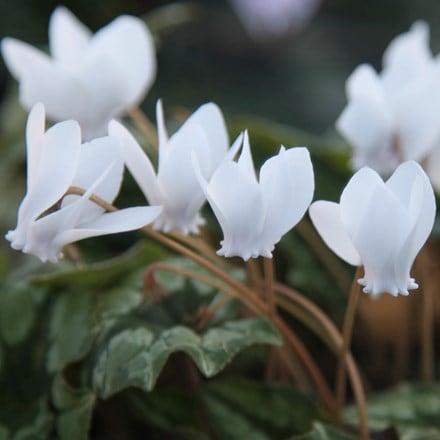 Cyclamen hederifolium var. heder. f. albiflorum