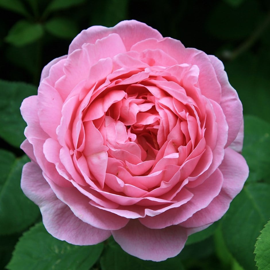 Buy rose constance spry climbing shrub rosa constance for Where can i buy rainbow roses in the uk