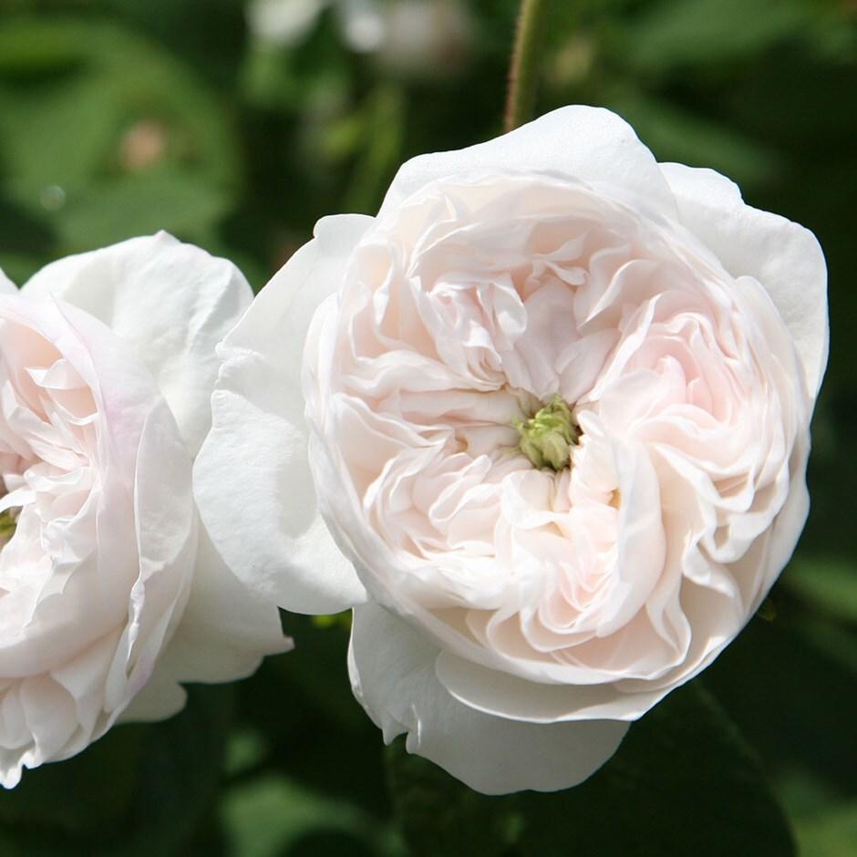 rose Madame Hardy (shrub)