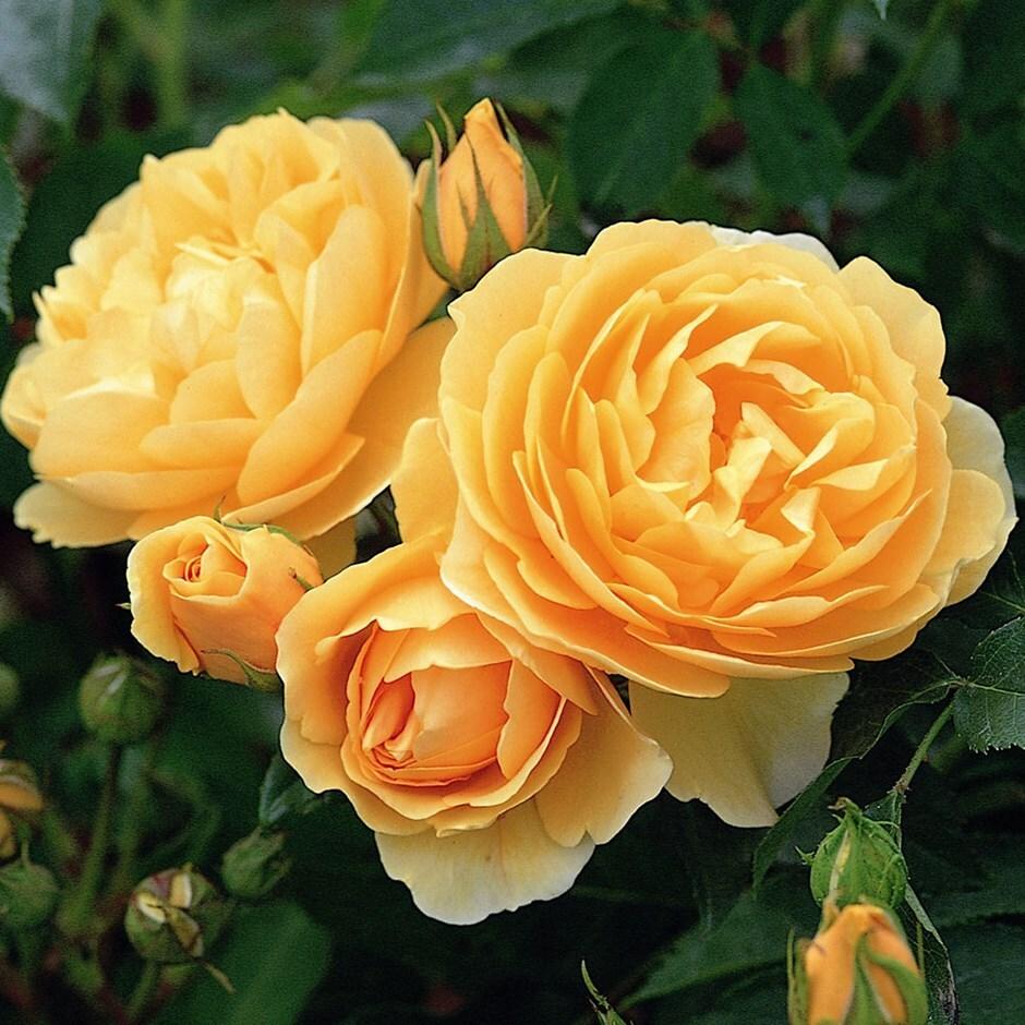 rose Graham Thomas (shrub)