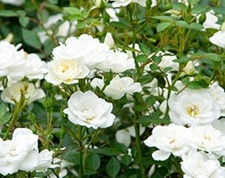 rose Kent (shrub/ground cover)