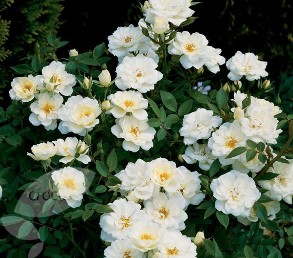 <i>Rosa </i> <b class=small-caps>Kent</b> ('Poulcov') (PBR) (Towne & Country Series)