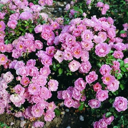 Rosa Surrey ('Korlanum')