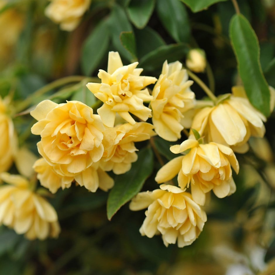 Buy Banksian Rose Rambler Rosa Banksiae Lutea 2499 Delivery By