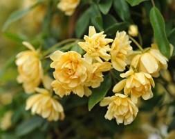 banksian rose (rambler)