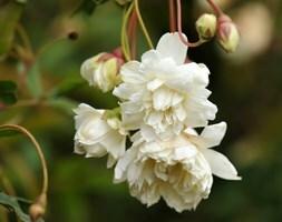white banksian rose (rambler)