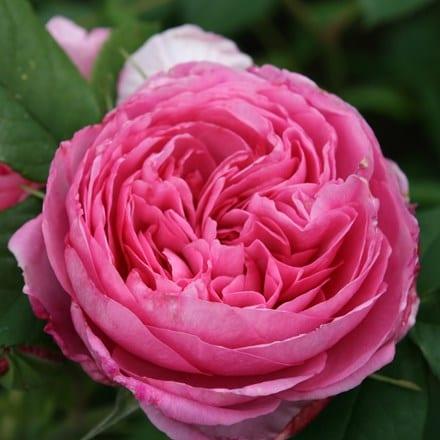 Rosa Gertrude Jekyll  ('Ausbord') (PBR)
