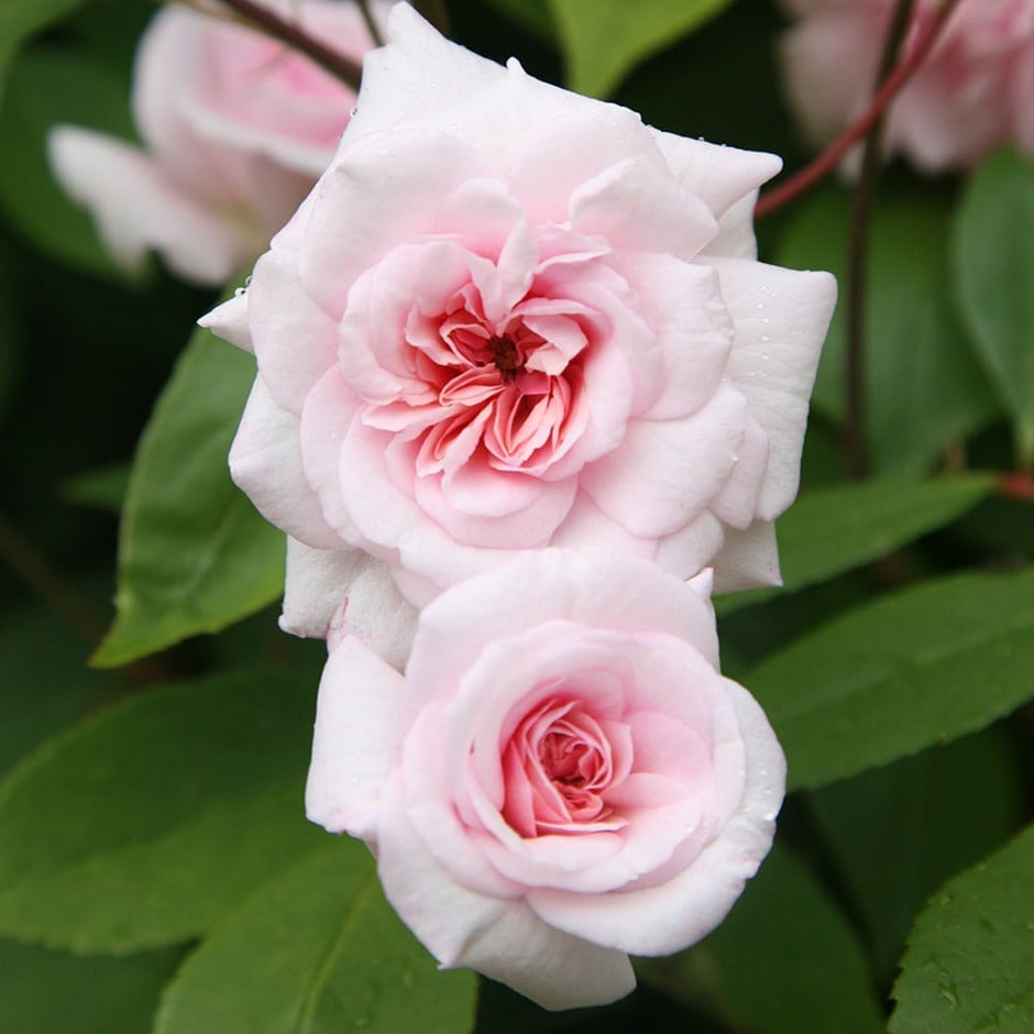 Picture of Live Rose (climbing, pink) aka Rosa climber 'Cecile Brunner' Plant Fit 5 Gallon Pot