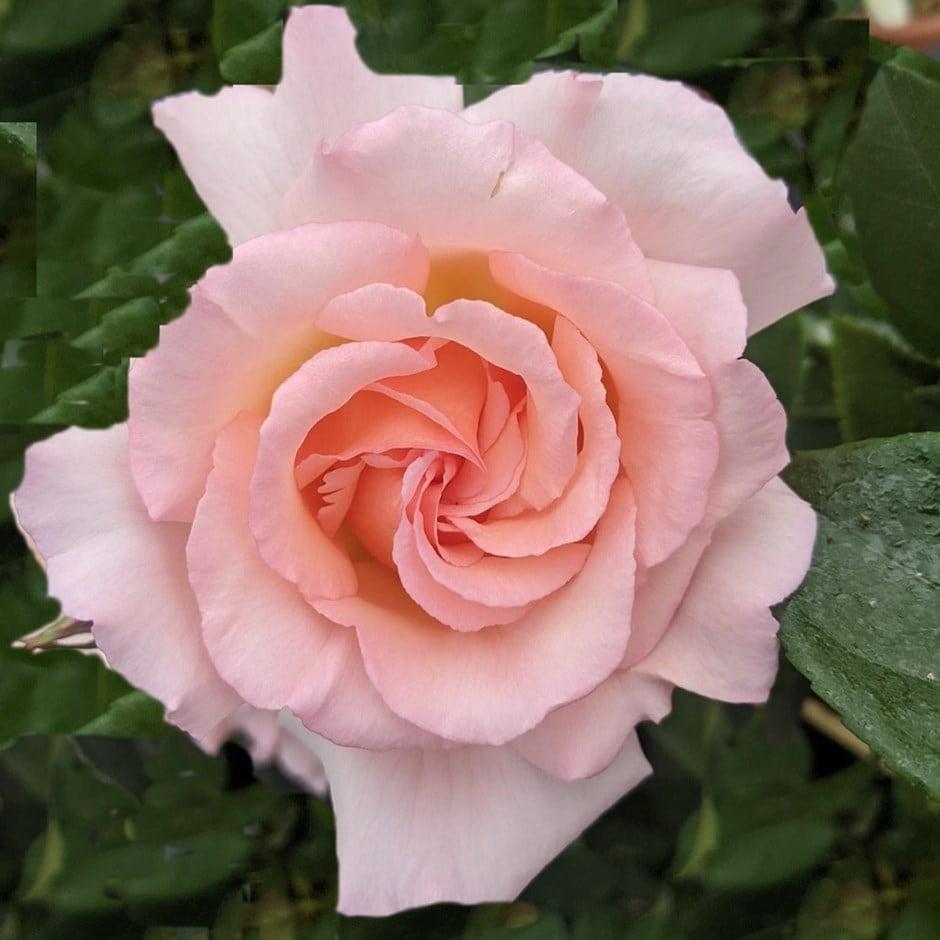 rose Compassion (climbing hybrid tea)