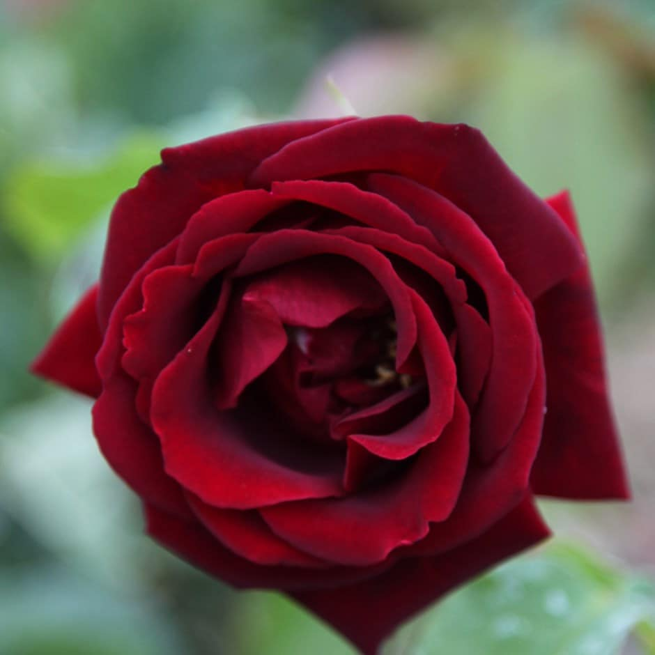 Buy Rose Etoile De Hollande Climbing Hybrid Tea Rosa