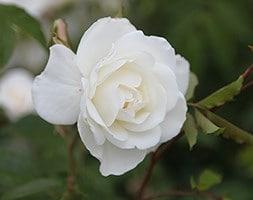 rose Climbing Iceberg (climbing floribunda)