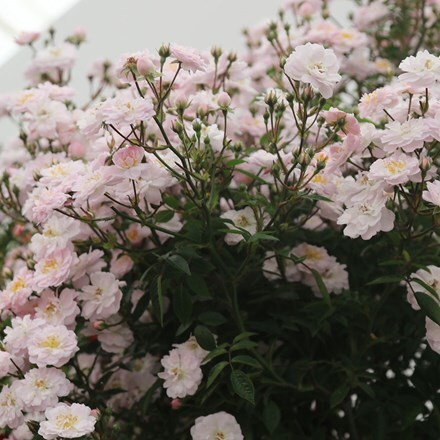 Rosa Little Rambler ('Chewramb') (PBR)