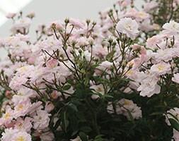rose Little Rambler (miniature rambler)
