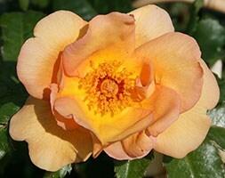 rose Maigold (climbing)