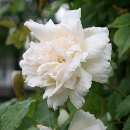 Rosa Madame Alfred Carrière