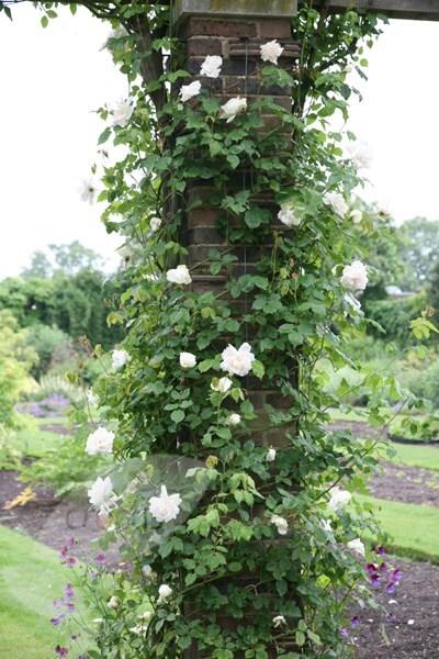 Buy Rose Madame Alfred Carri U00e8re  Climbing Noisette  Rosa