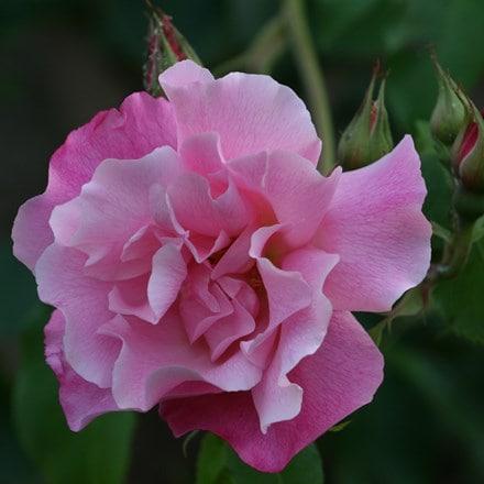 Rosa Madame Grégoire Staechelin