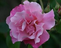 rose Madame Grégoire Staechelin (climbing hybrid tea)
