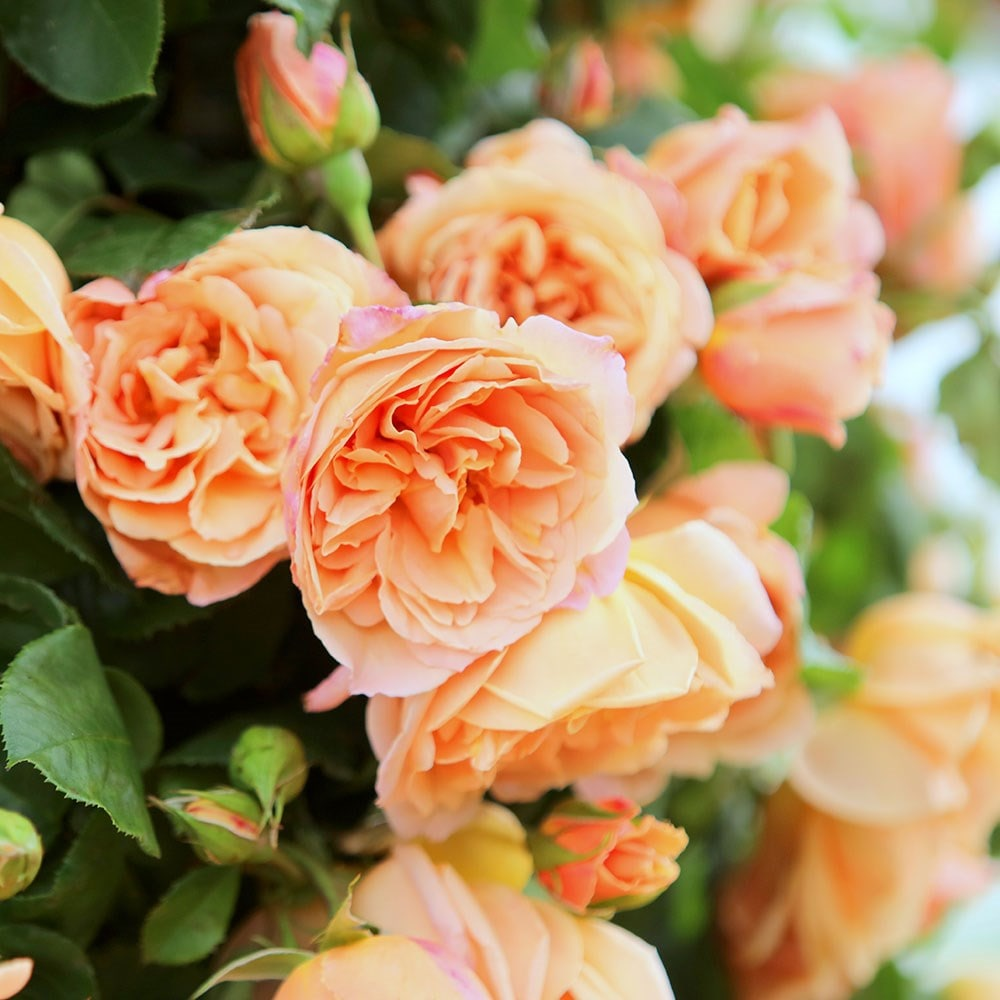 Climbing rose Schoolgirl scented apricot-orange bare rooted FREE DELIVERY