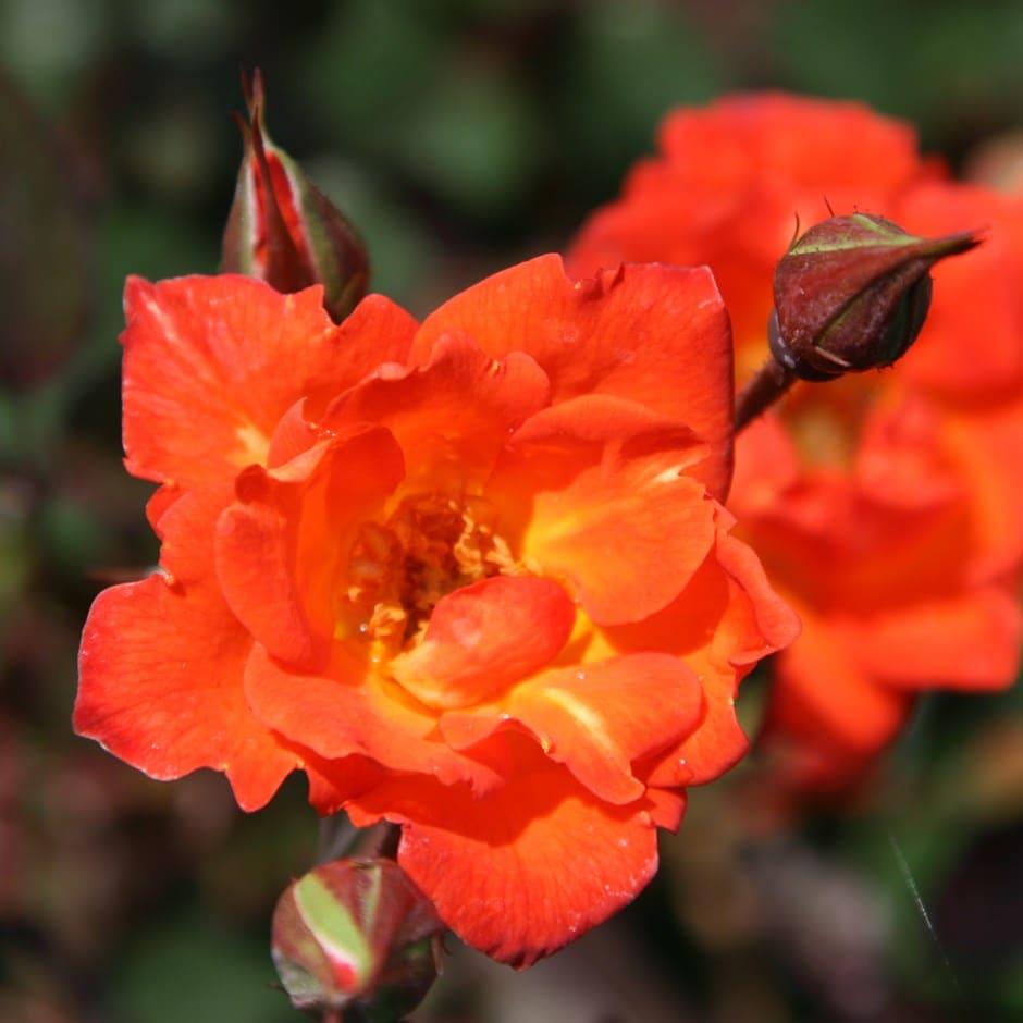 rose Warm Welcome (climbing minature)