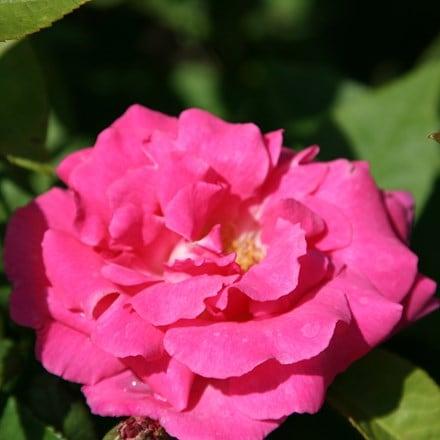 Rosa Zéphirine Drouhin