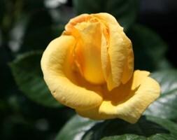rose Arthur Bell (floribunda rose)