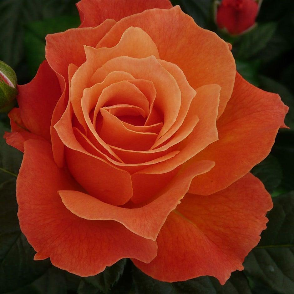 rose Fellowship (floribunda)
