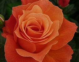 rose Fellowship (floribunda)