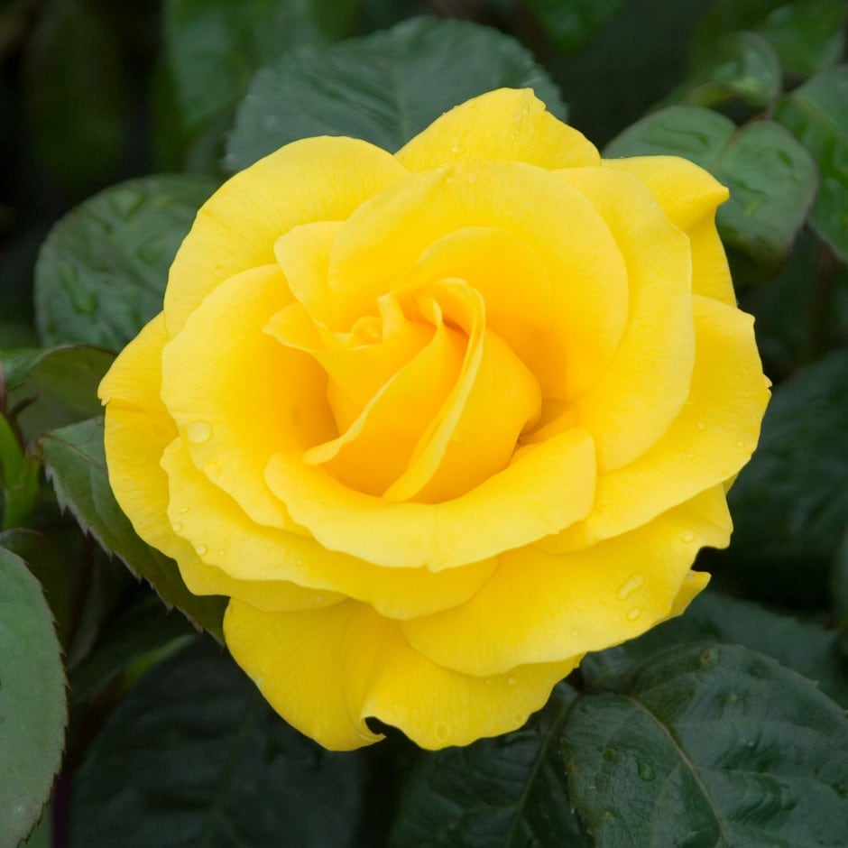 Buy Rose Golden Wedding Floribundahybrid Tea Rosa Golden Wedding
