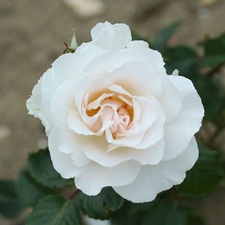 Rosa Margaret Merril ('Harkuly')