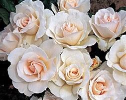 rose Margaret Merril (floribunda)