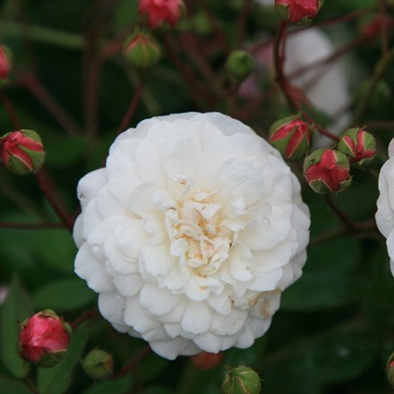Rosa White Pet