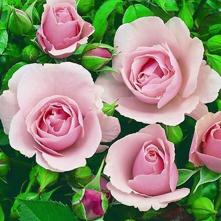 Rosa Congratulations ('Korlift') (PBR)