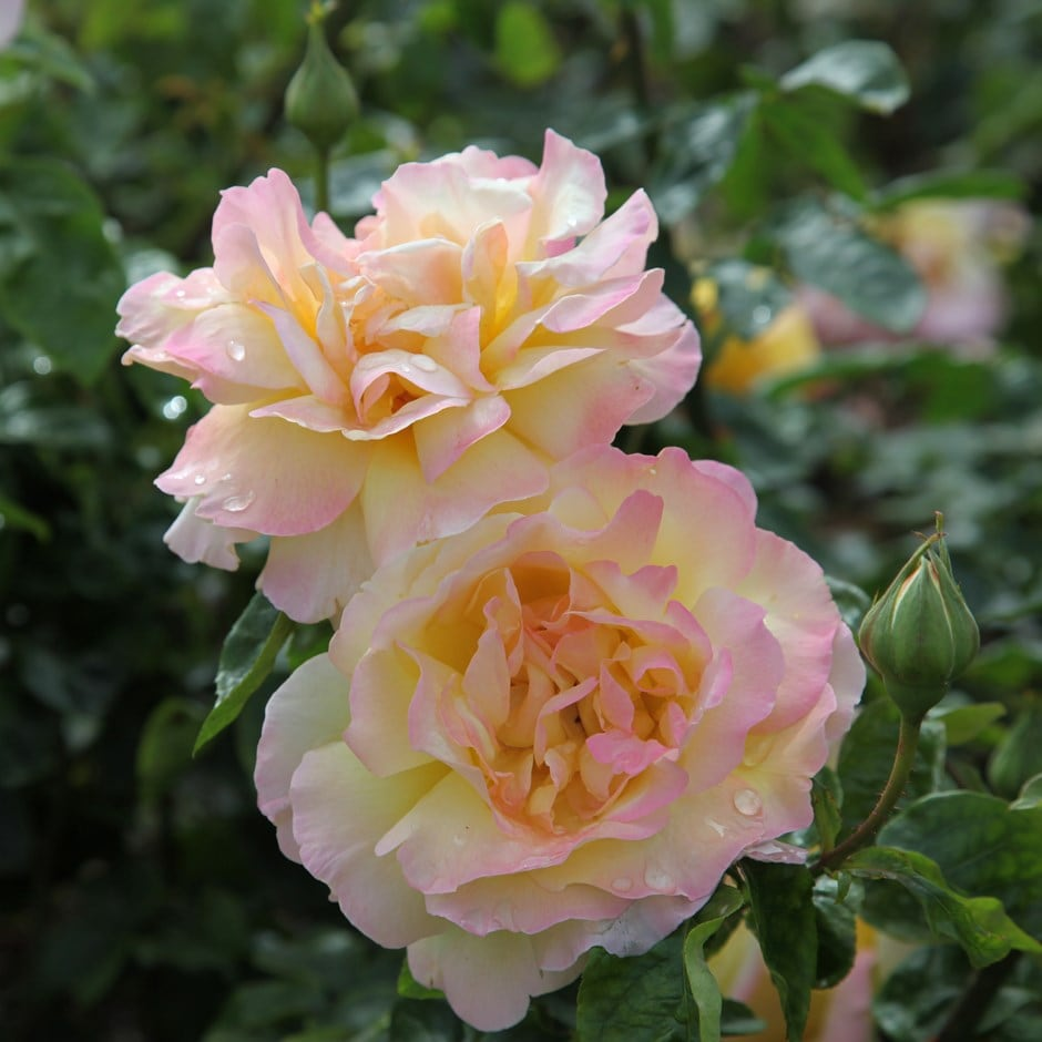 rose Peace (hybrid tea)