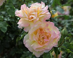 rose Peace (hybrid tea)