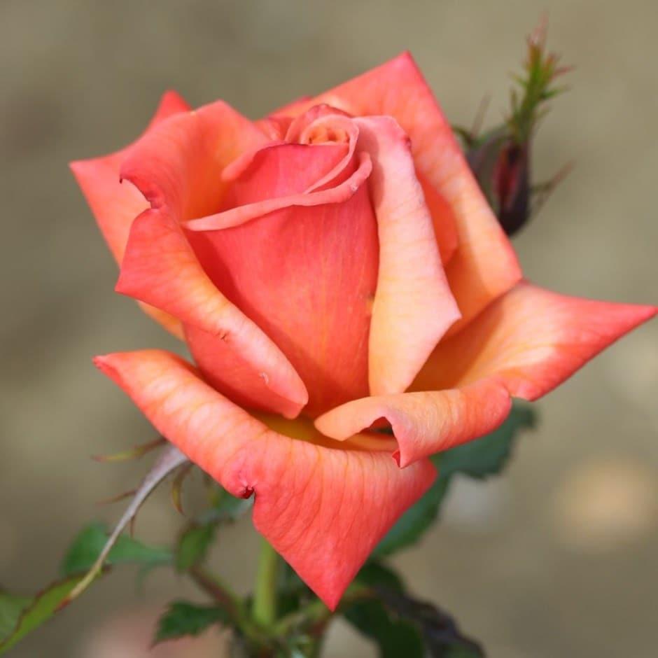 rose Remember Me (hybrid tea)