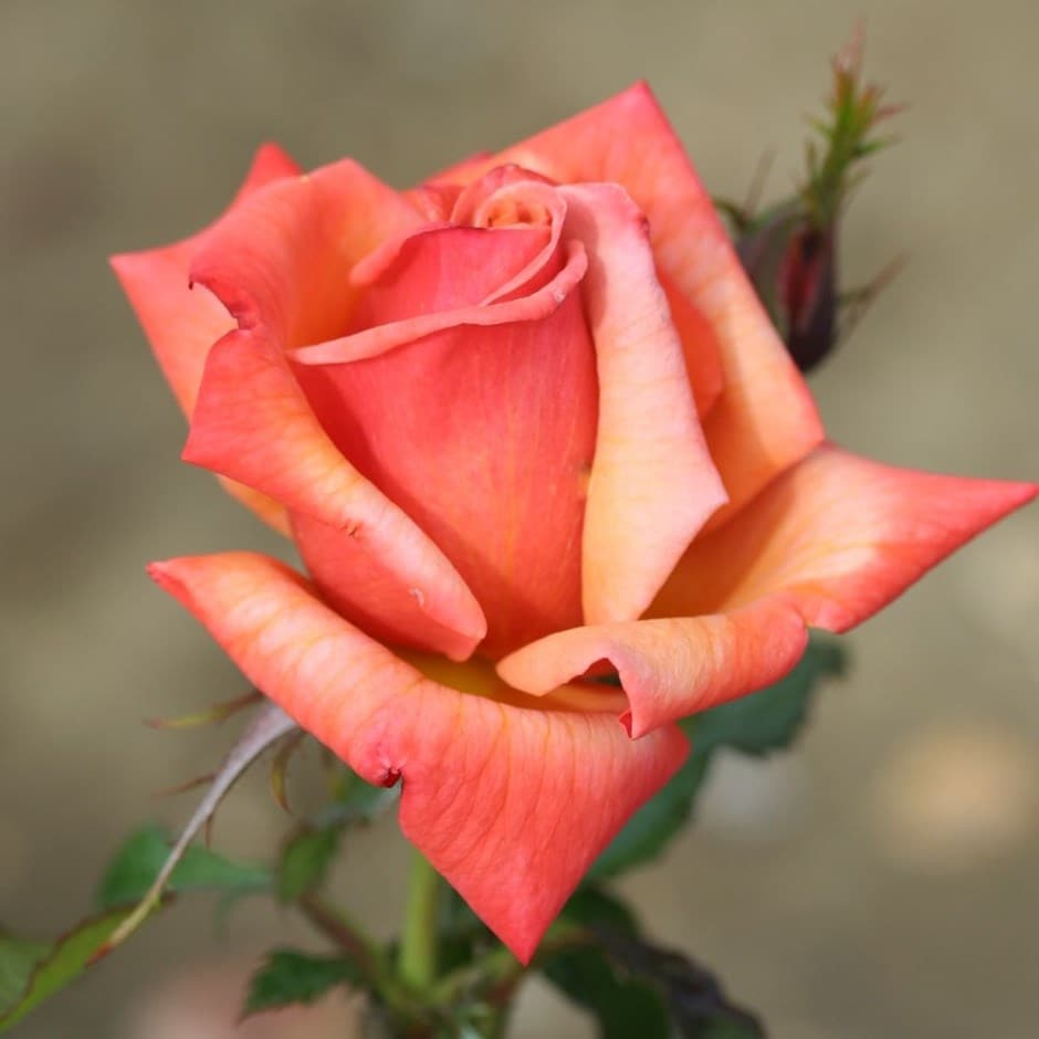 rose Remember Me (hybrid tea)