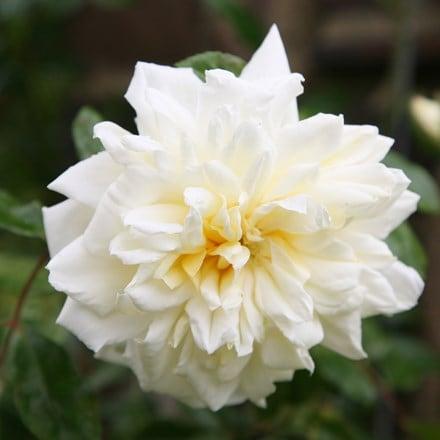 Rosa Albéric Barbier