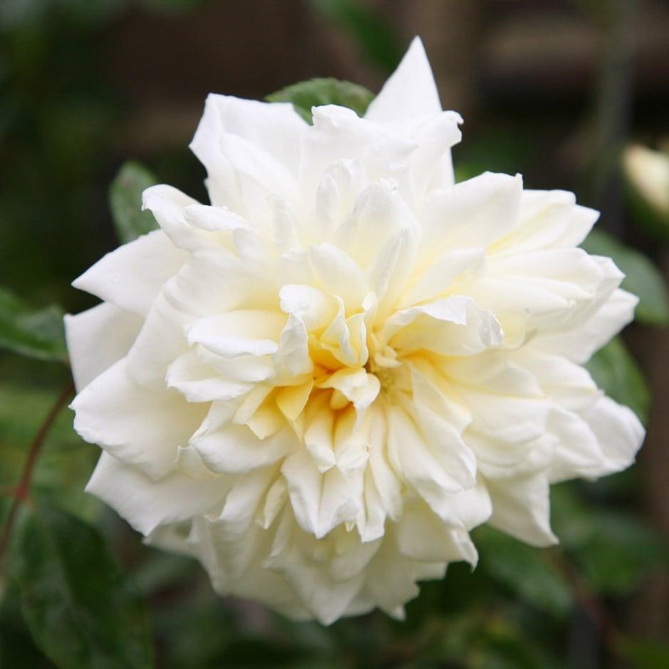 rose Albéric Barbier (rambler)