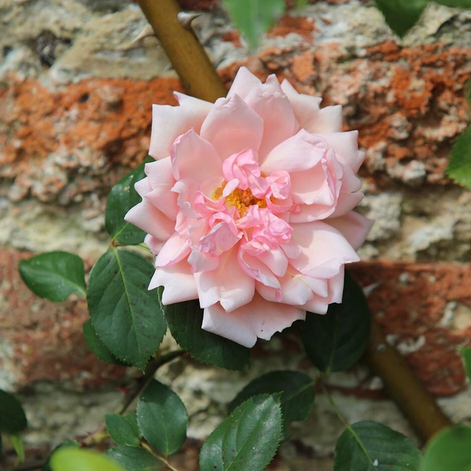 rose Albertine (rambler)