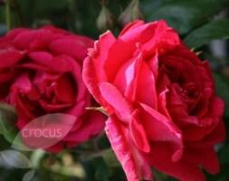 rose Paul's Scarlet Climber (rambler)